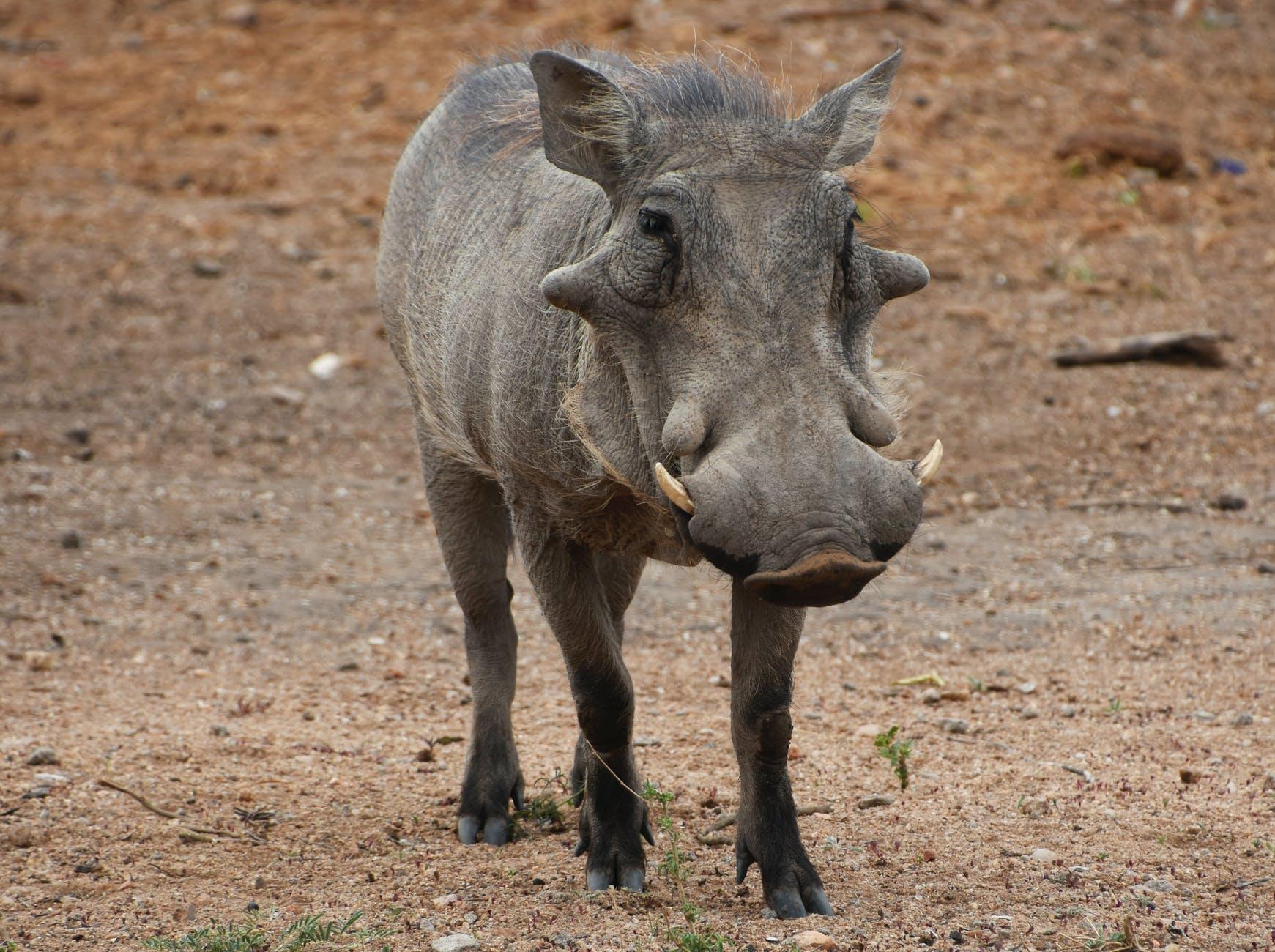 grey rhinoceros on brown field