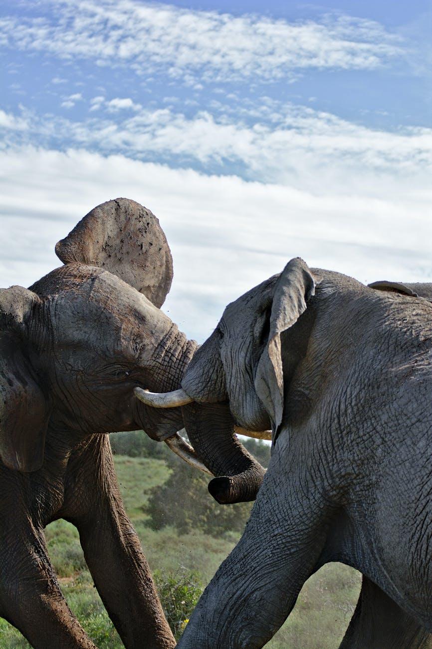 elephants fighting in savanna against cloudy sky